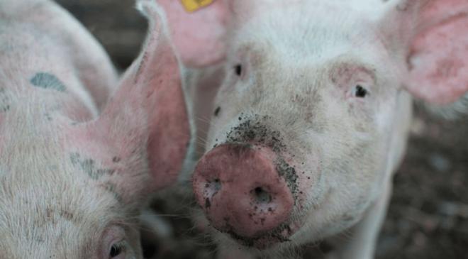 ¿Amenaza? Nuevo coronavirus de los cerdos podría infectar a los humanos